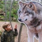 Kinder-Spezial: Wolfswanderung in der Dämmerung - 14.08.2020, 19 Uhr