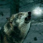 Wolfswanderung in der Dämmerung - 07.03.2020, 17 Uhr