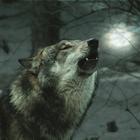 Wolfswanderung in der Dämmerung - 14.11.2020, 16 Uhr